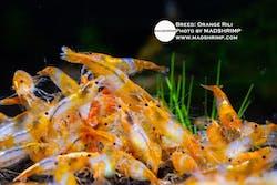 Shrimp - Orange Rili