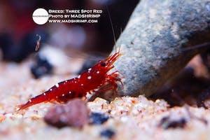 Shrimp - Three Spot Red
