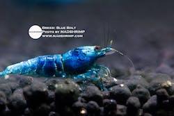 Shrimp - Blue Bolt