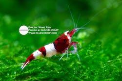 Shrimp - Wine Red
