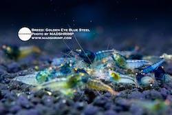 Shrimp - Golden Eye Blue Steel