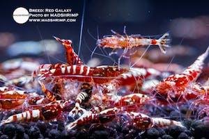 Shrimp - Red Galaxy