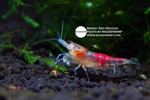 Shrimp - Red Dragon