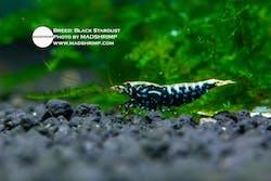 Shrimp - Black Stardust