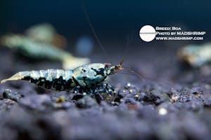 Shrimp - Boa