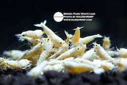 Shrimp - Pure White Line