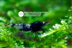 Shrimp - Golden Eye Black Rili