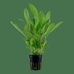 TROPICA Hygrophila costata in Pot