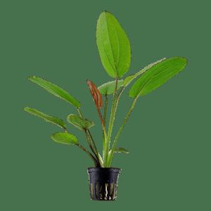 Tropica Echinodorus Barthii in Pot