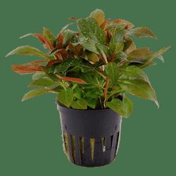 Tropica Ludwigia Glandulosa in Pot