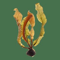 Tropica Aponogeton Boivinianus Bulb
