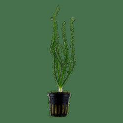 Tropica Crinum calamistratum in Pot