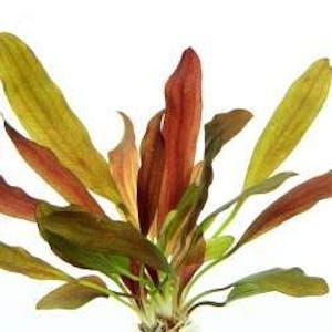 Dennerle Echinodorus Red Chamaleon in Pot
