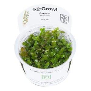 Tropica Bacopa Caroliniana 1-2 GROW