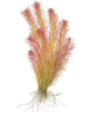 TROPICA Rotala Wallichii 1-2-GROW