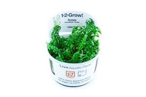 TROPICA Rotala rotundifolia Green 1-2-GROW