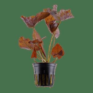 TROPICA Nymphaea lotus in Pot