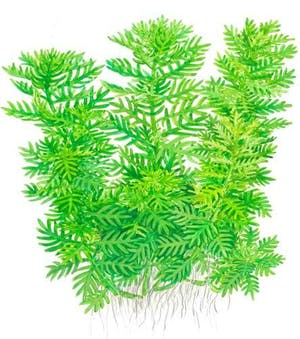 Tropica Hottonia Palustris in Pot