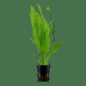 Tropica Echinodorus Bleherae in Pot