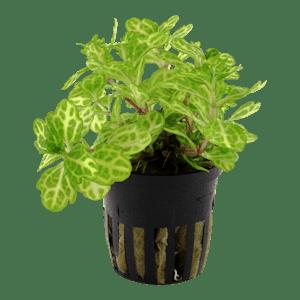Tropica Shinnersia Weiss-Grun in Pot