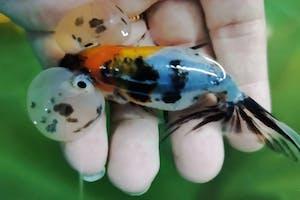 Calico Bubble Eye (4-5″)