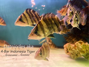 4-Bar Indonesia Tiger Fish (Datniodes) (Self Collect Only)