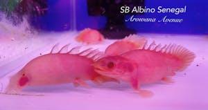 Short Body Albino Senegal Bichir (Self Collect Only)