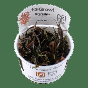 TROPICA Hygrophila Araguaia  1-2-GROW