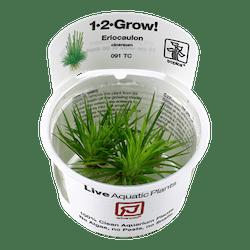 TROPICA Eriocaulon Cinerum 1-2-GROW