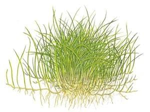 TROPICA Eleocharis acicularis Mini 1-2-GROW