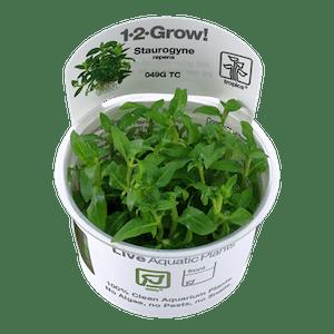 TROPICA Staurogyne repens 1-2-GROW