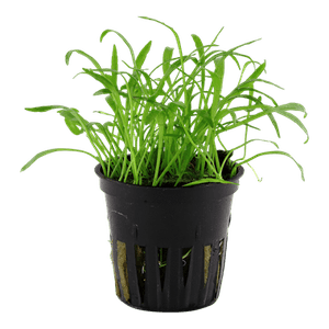 Tropica Lilaeopsis Brasiliensis in Pot