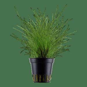 Tropica Eleocharis parvula in Pot