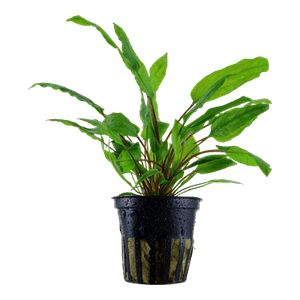 TROPICA Cryptocoryne wendtii Green in Pot