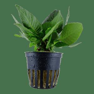 Tropica Hygrophila Compact in Pot