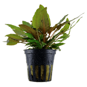 Tropica Cryptocoryne Wendtii Tropica in Pot