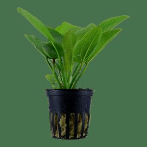 Tropica Echinodorus Aquartica in Pot
