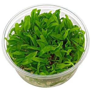 TCulture Cryptocoryne wendtii Green