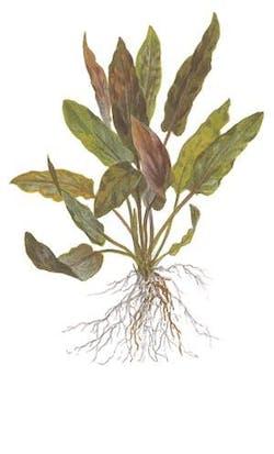 Tropica Cryptocoryne undulatus Red 1-2-GROW