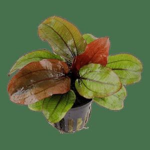 Tropica Echinodorus Reni in Pot