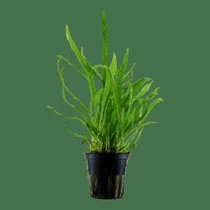 Tropica Microsorum Pteropus Narrow  Blister Pack