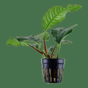 Tropica Anubias barteri Coffeefolia in Pot