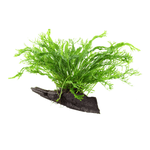 Tropica Microsorum Pteropus Windelov  On Wood