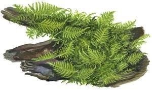 TROPICA Vesicularia dubyana Christmas 1-2-GROW