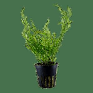 Tropica Bolbitis Heudelotii in Pot