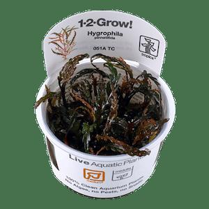 Tropica Hygrophila Pinnatifida 1-2-Grow