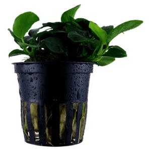 Tropica Anubias Petite  in Pot