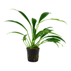 Tropica Anubias Barteri Var Angustifolia in Pot