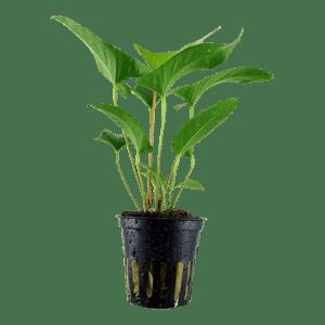 TROPICA Anubias gracilis in Pot