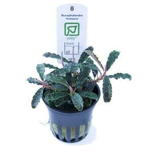 Tropica Bucephalandra Kedagang in Pot